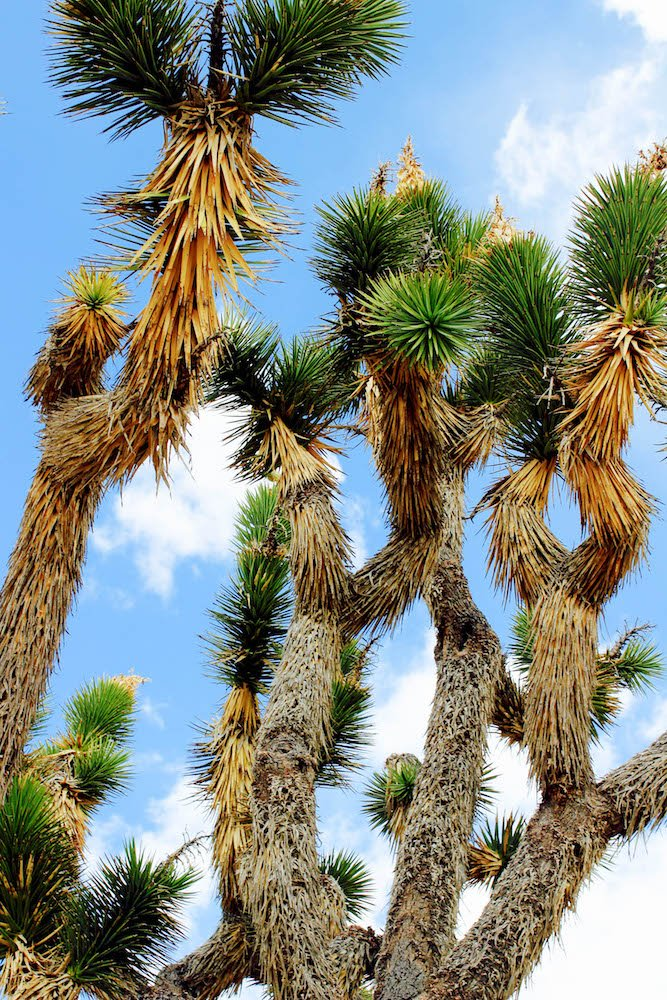 Joshua Tree 2 Mojave Desert National Preserve California USA