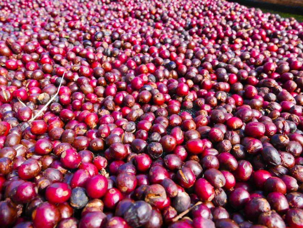 All you need is love… and coffee // Touring a coffee farm in Boquete, Panama