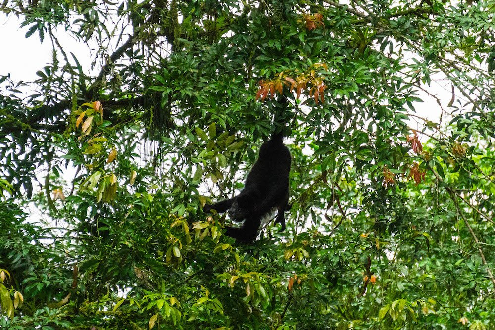 A black Howler Monkey hanging by its tail to grab a piece of fruit in a tree