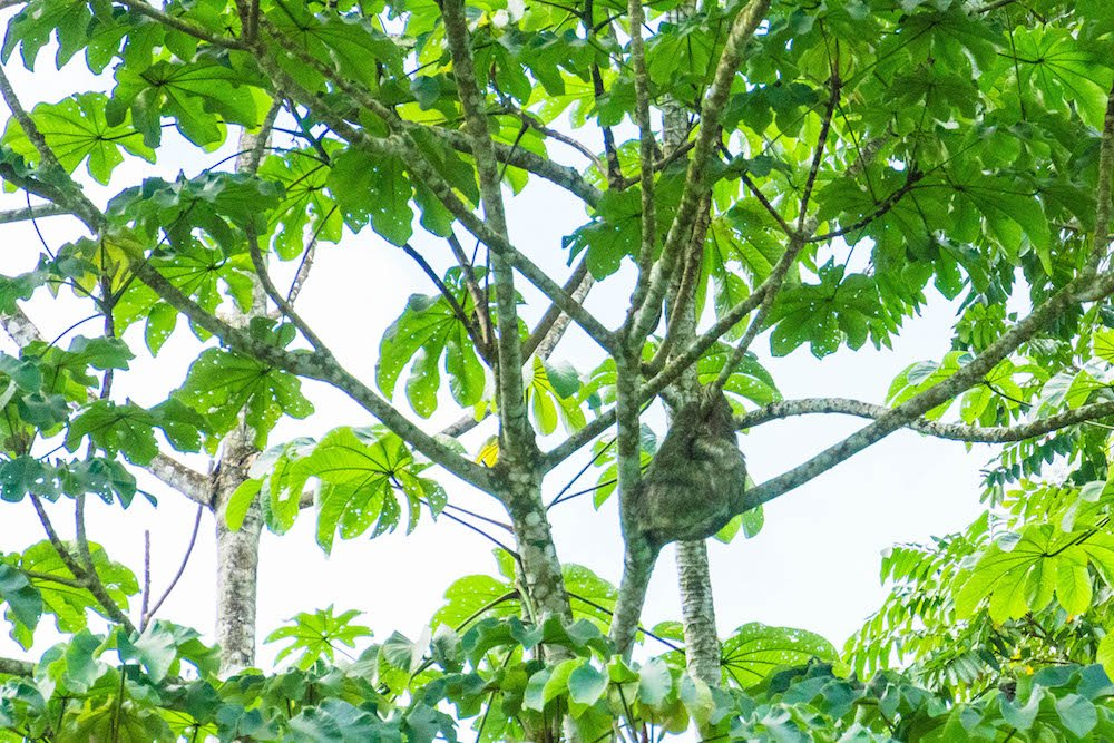 A sloth hanging from a tree on a wildlife rafting safari in La Fortuna, Costa Rica