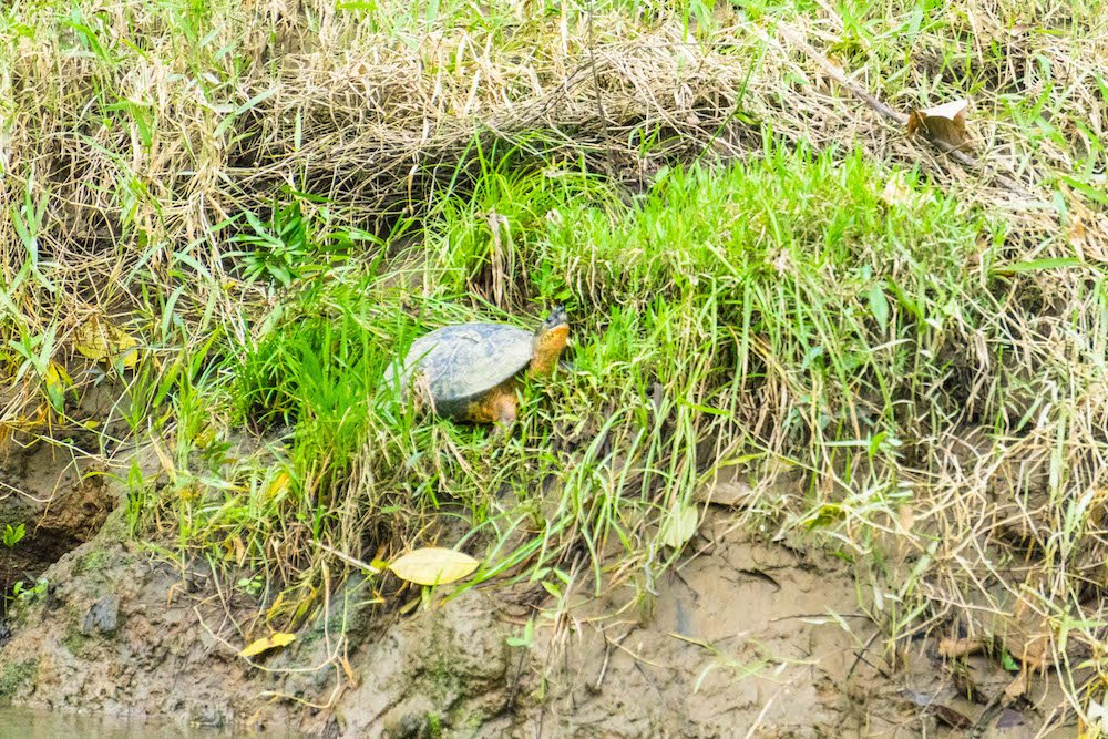 A small, cute turtle on the banks of the Rio Penas Blancas in La Fortuna, Costa Rica