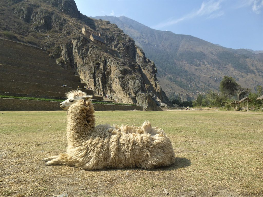 A llama at Incan Ruins in Peru