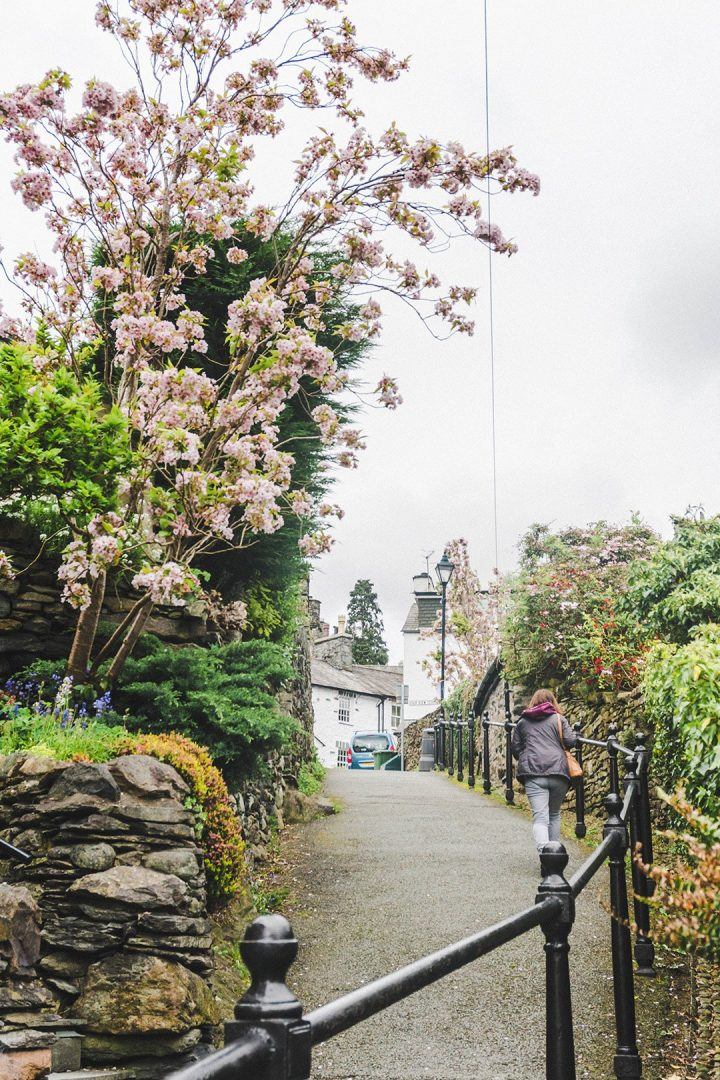 A pink flowering tree hanging over a pathway in Ambleside, Lake District, UK